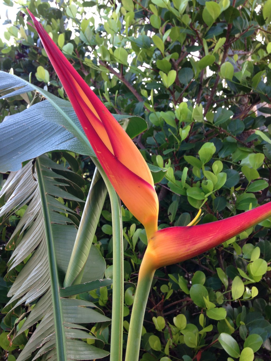 Heliconia On Pine Island Florida