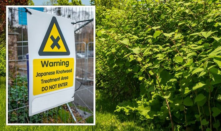 Japanese knotweed warning: Cases of invasive weed on the rise after stamp duty rush