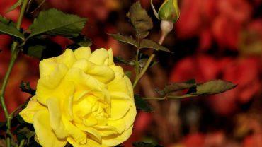 Bunga Mawar Kuning Melambangkan Pesahabatan dan Perdamaian