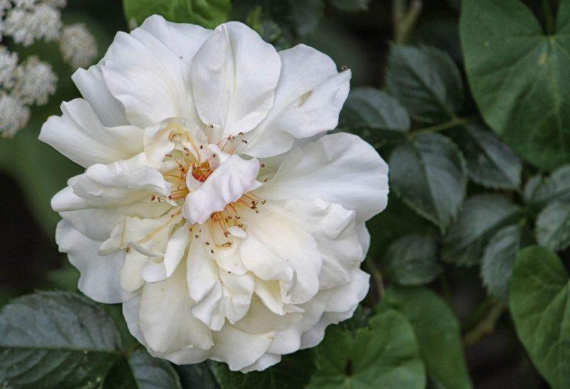 Bunga Mawar Putih Berkelopak Tipis (Rosa Alba Meidiland)