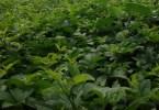 How to Start Ugu Farming Business In Nigeria (Pumpkin leaf)