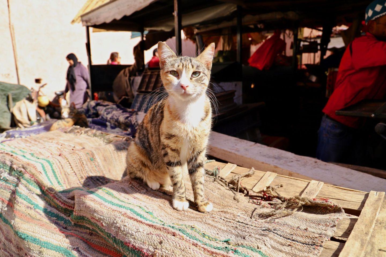 Morrocan cats