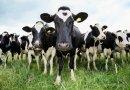 Ποιες είναι οι 8 γαλακτοπαραγωγικότερες φυλές αγελάδων στον κόσμο