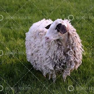 photo Πρόβατο P-10015 αγορά φωτογραφία πρόβατο on line