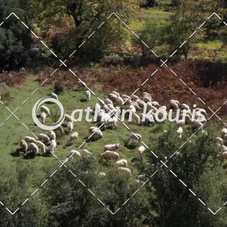 αγορά πλάνα βίντεο on line - πρόβατα που βόσκουν διάρκειας 7 sec V-1061