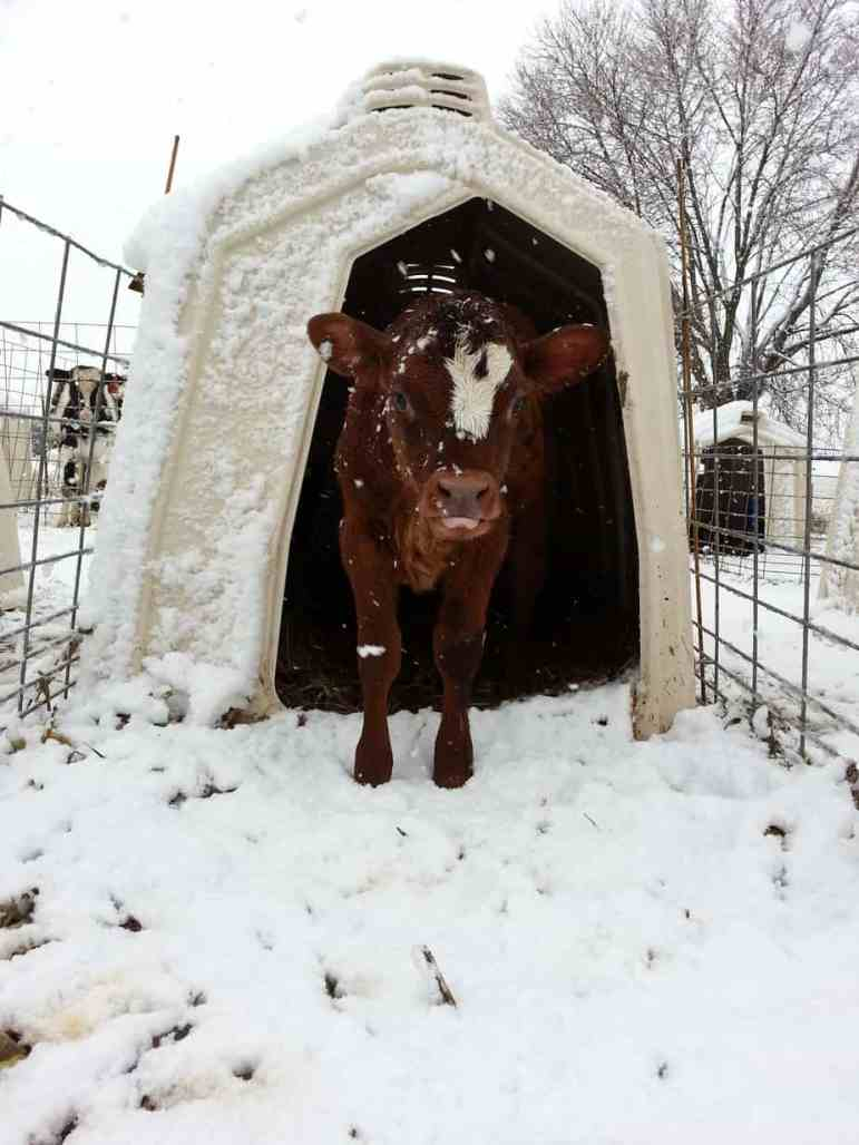 Calf hutches keep calves warm and toasty in the winter.