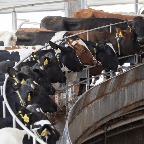 small resolution of 4 modern milking parlor designs