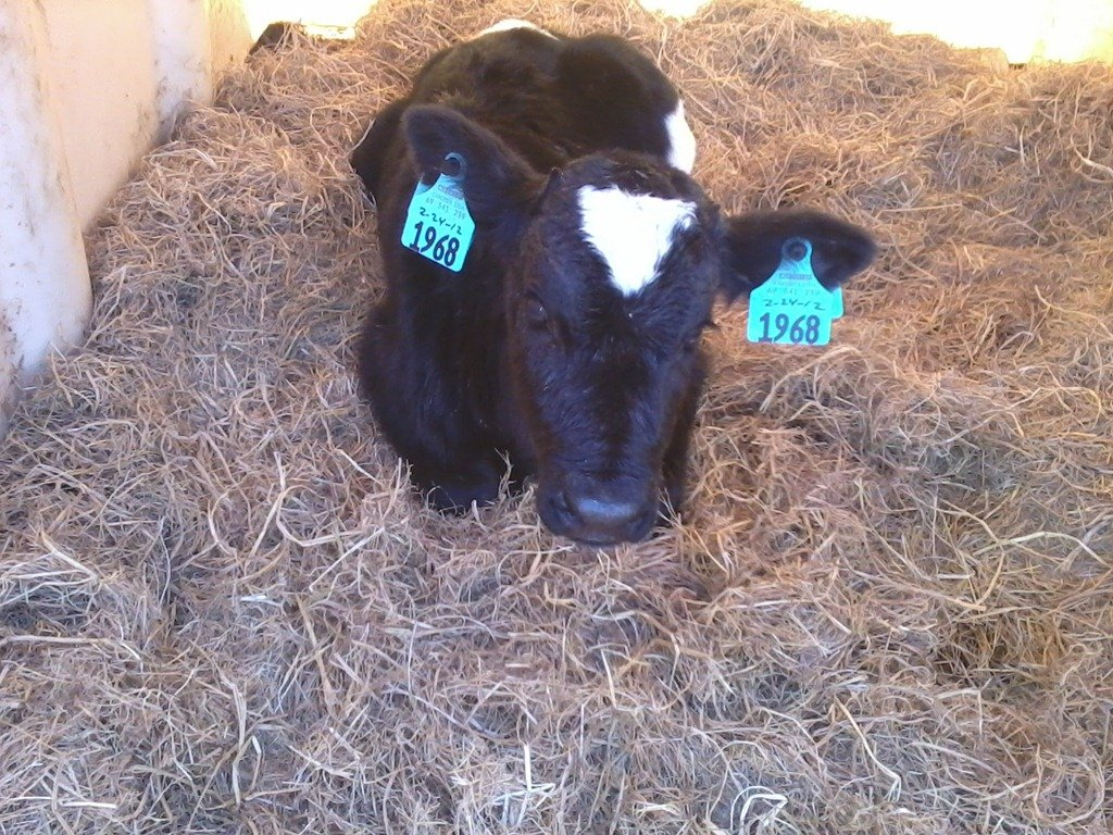Are bovine same sex twins fertile