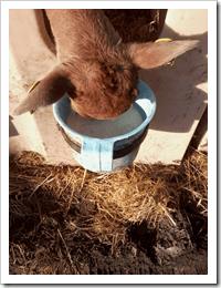 Baby calf drinking milk