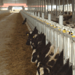 A New Home: Christmas Comes Early for our Baby Calves