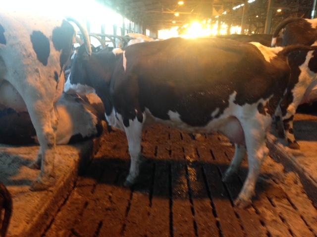 First Lactation Waldhoer (Fleckvieh) X Holstein