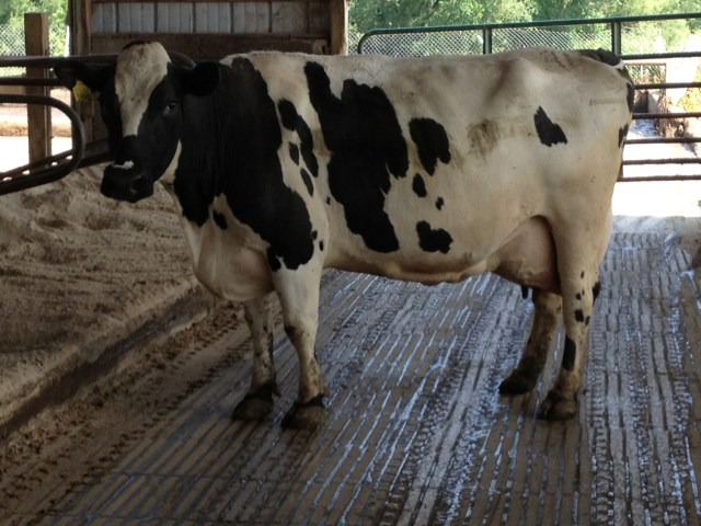 Winner of Crossbred Cow Of The Year