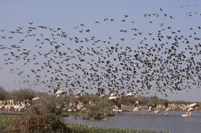 Pélican blanc (Famille Pelecanidae, Pelecanus onocrotalus) et Dendrocygne (Famille Anatidae, Dendrocygna viduata). Première zone humide d'importance au sud du sahara, le Parc National des Oiseaux du Djoudj (12000ha) est essentiel pour l'hivernage des migrateurs d'Europe du Nord et d'Afrique de l'Ouest (environ 3 millions d'oiseaux transitent, plus de 400 espèces dénombrées). Classé au patrimoine mondial de l'UNESCO (1971) le Parc National des Oiseaux du Djoudj compte parmi les premiers parcs ornithologique du monde.