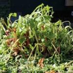 rhubarb, shredded, hail storm