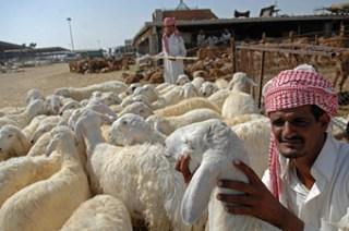 hewan qurban saudi