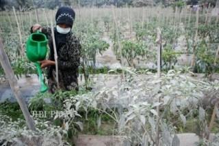 DAMPAK LETUSAN KELUD Ribuan Hektare Tanaman Pangan Terancam Gagal Panen - Foto: harianjogja.com