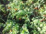 pomodorini ciliegino dal contadino