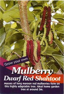 Mulberry Dwarf Red Shahtoot Masses of long maroon red mulberries form on this highly