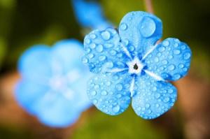 Rain - A flower enjoying some rain drops on its blue petals