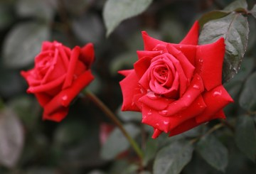 Two Red roses enjoying a shower