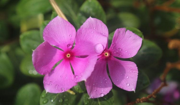 Perivinkle (Vinca minor) after a rain shower