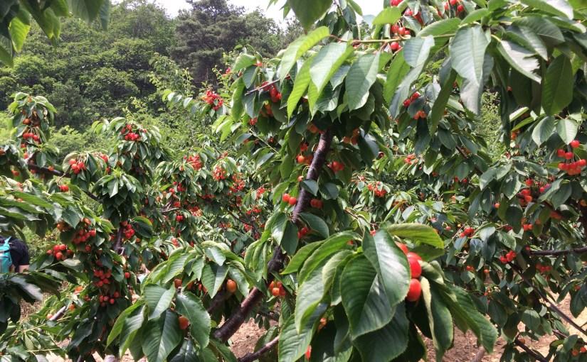 Pics of Dalian: Cherry Picking