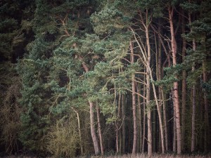 scots pine trees Landscape Photography