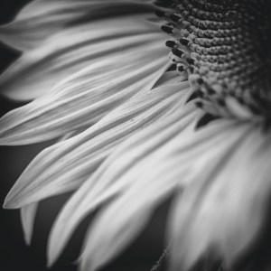 Sunflowers, Fine Art Photography Buckinghamshire