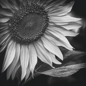 Sunflowers, Fine Art Photography Buckinghamshire