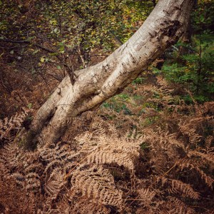 Landscape Photography of Burnham Beeches Birch Tree