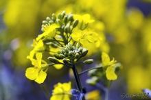 Rozkvetlá žlutá