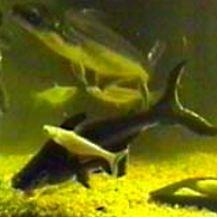 Pangas - sumeček žraločí