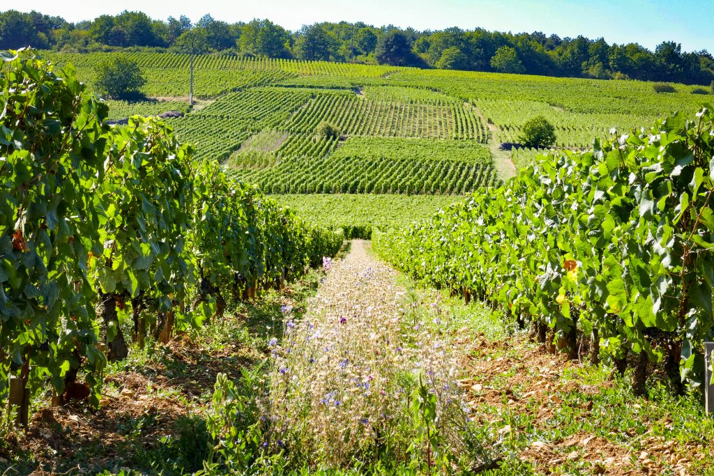 Perfectly manicured rows of vines in the Domaine de la Romaneé-Conti