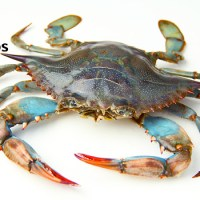 Soft Shell Crabs: Definition and Differences Between Hard Shell Crabs