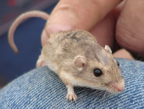 The endangered Pacific pocket mouse. Photo: Courtesy CNLM
