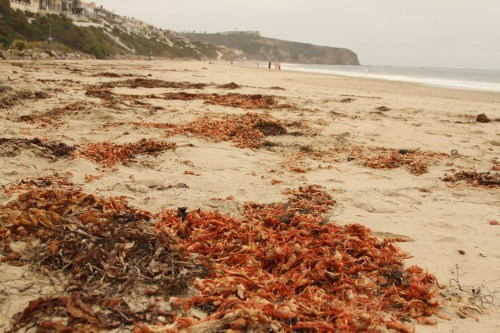 By Monday most of the tuna crabs on the beaches of Dana Point had been washed back out to see by the high tide. The ones that didn't make it back into the surf were dead and strewn about, perfuming the beach air with a rotting fishy smell. Photo: Andrea Swayne