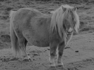 Druidibeg pony