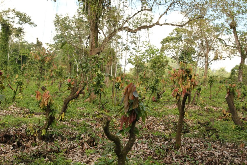 Maya Mountain's next project—transforming this land into an organic, cacao-based agroforestry demonstration farm.