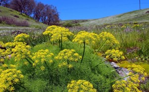 Dessert Parsley (a.k.a. Lomatium)