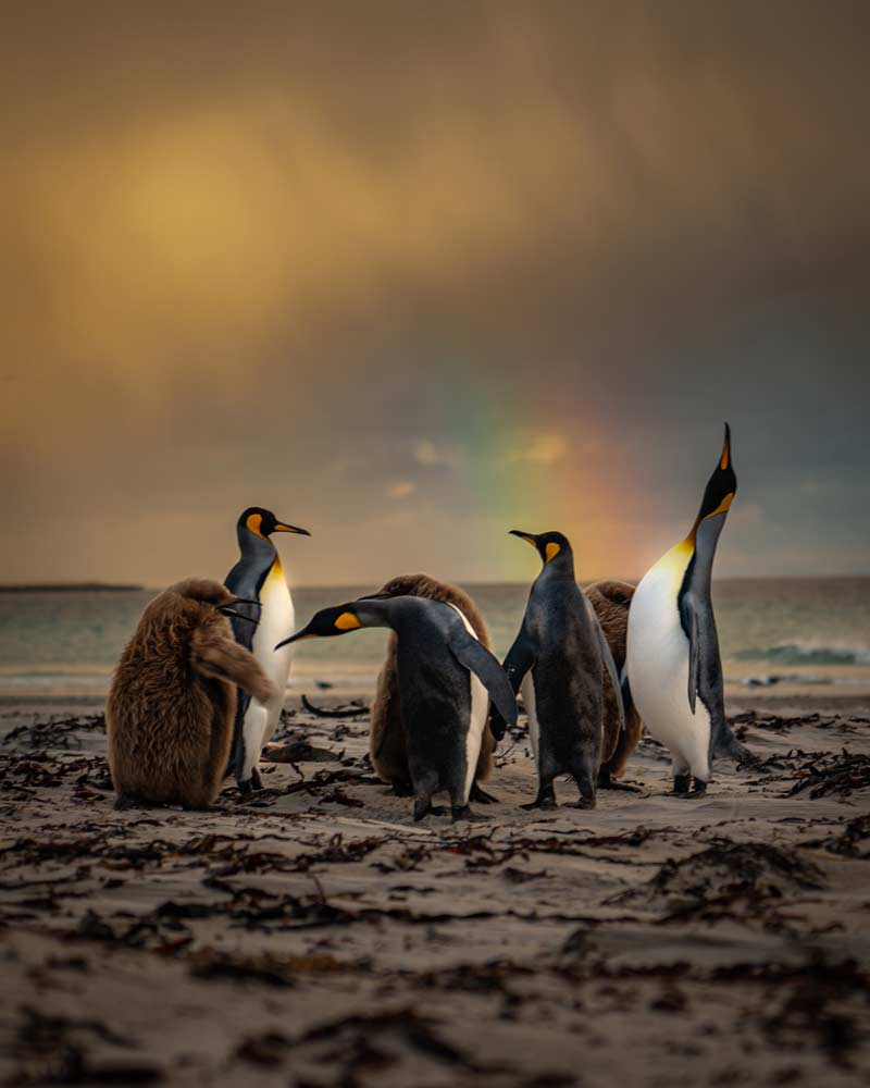 King Penguins at sunrise on Saunders Island in-front of a rainbow Falkland Islands