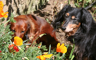 Sequel and Vector among the poppies