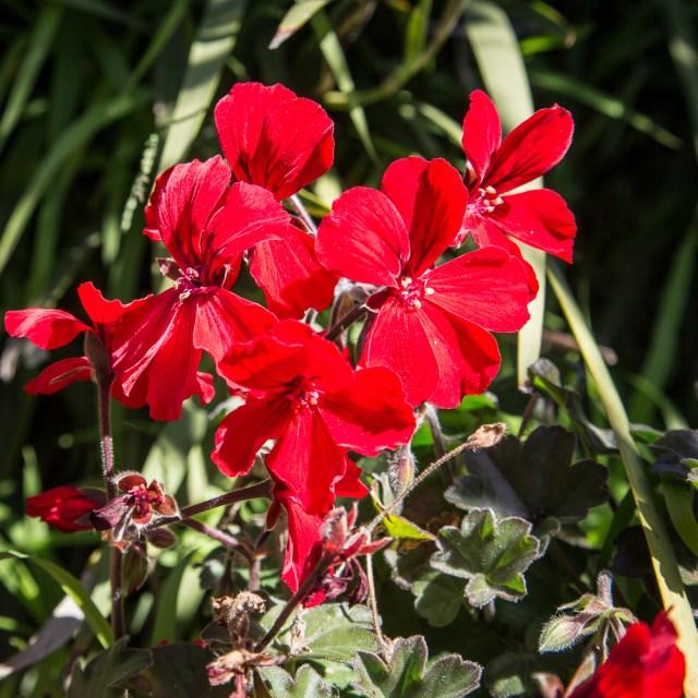 Geranium flowering in the back yard.