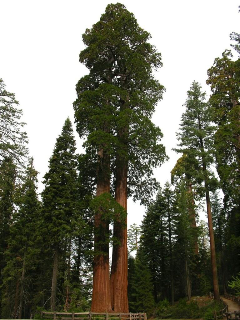 Sequoia - National Park Service