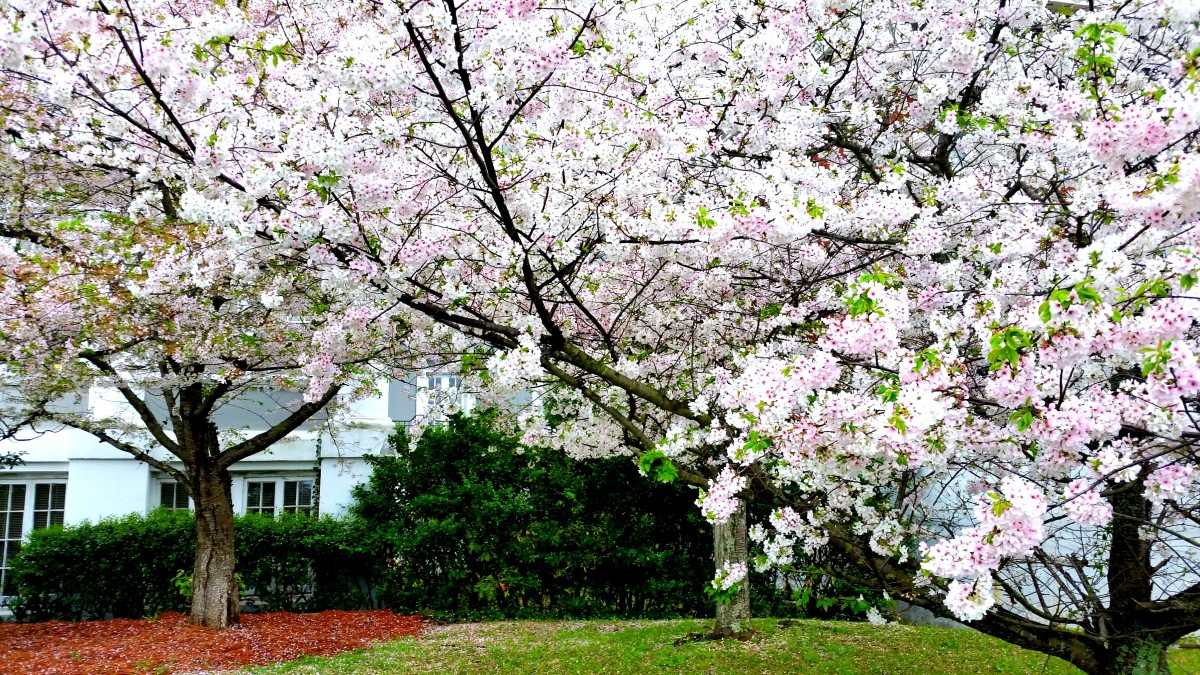 Awaken in Macon, the Cherry Blossom Capital of the World