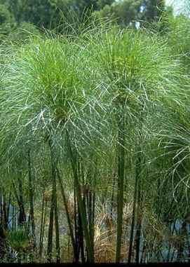 La pianta di papiro