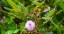 11-19-DOMINICAN-MIMOSA-PUDICA_sm.png