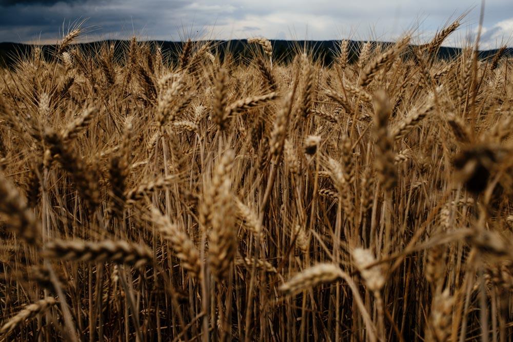 Germany_RheingauWheat2