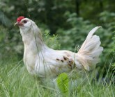 Courage In Small Doses - Advice For My Fellow Chickens - Living Outside Your Comfort Zone