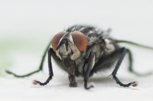 eensdagsvlieg