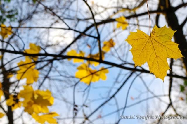 Yellow Autumn Leaves K521056